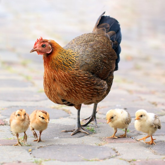 Just 9 Precious Pictures Of Baby Chickens Chooseveg Com