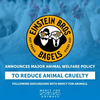 Einstein Bros Progress for Chickens