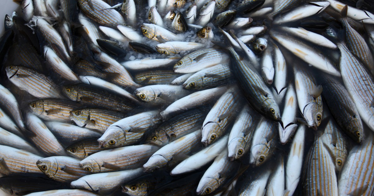 Wisconsin state senate just approved dangerous fish for Wisconsin fish farms