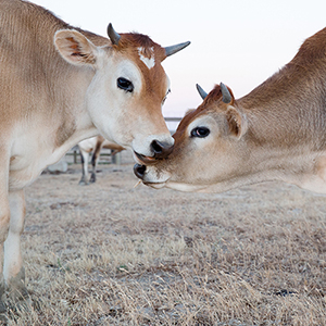 Rescued Cow and Calf