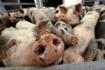 pigs_3.jpg