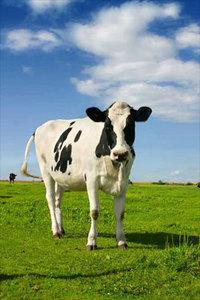 cow-field-hhh-001.jpg