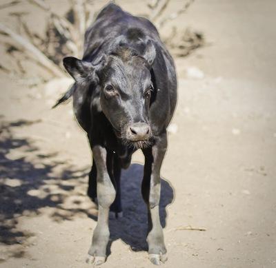 calf 4.jpg