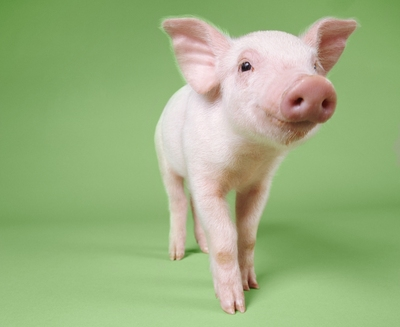 piggreenbackground3.jpg