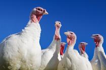 turkey2011a.jpg