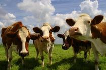 cows_001.jpg