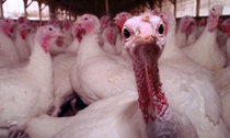 Turkey-farm-in-Massachuse-001.jpg