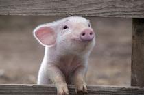 animal-cute-funny-pig-pink-Favim.com-128595_large.jpg