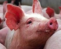 pigs35.jpg