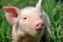 Pig Smile copy.jpg