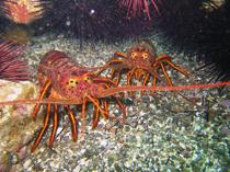 ca-spiny-lobsters_dfg-derekstein_lr.jpg