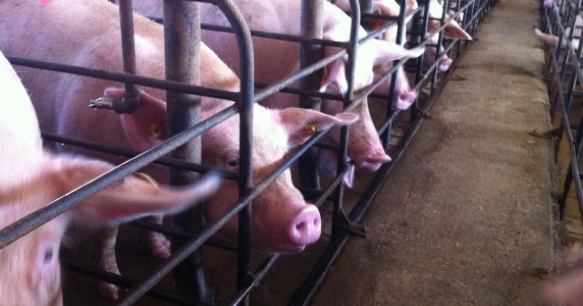 A pesar de las preocupaciones, el uso de antibióticos aumenta en las granjas.