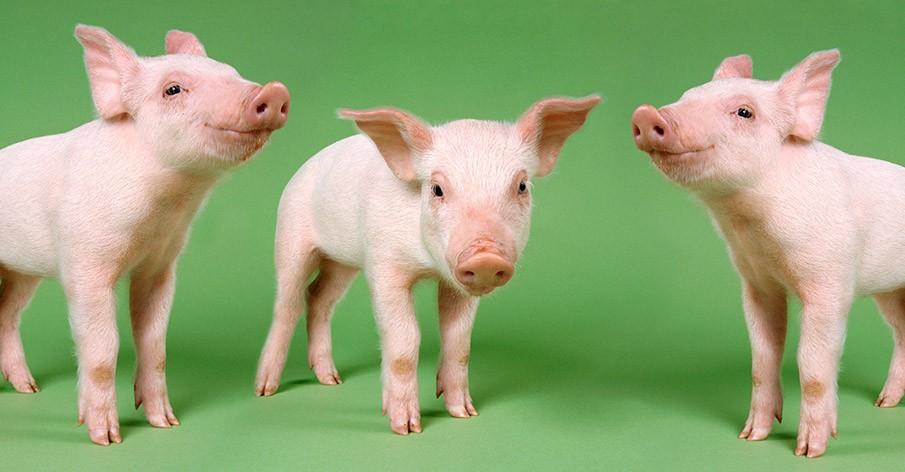 9 provas de que os animais atualmente explorados para abate são os mais lindos