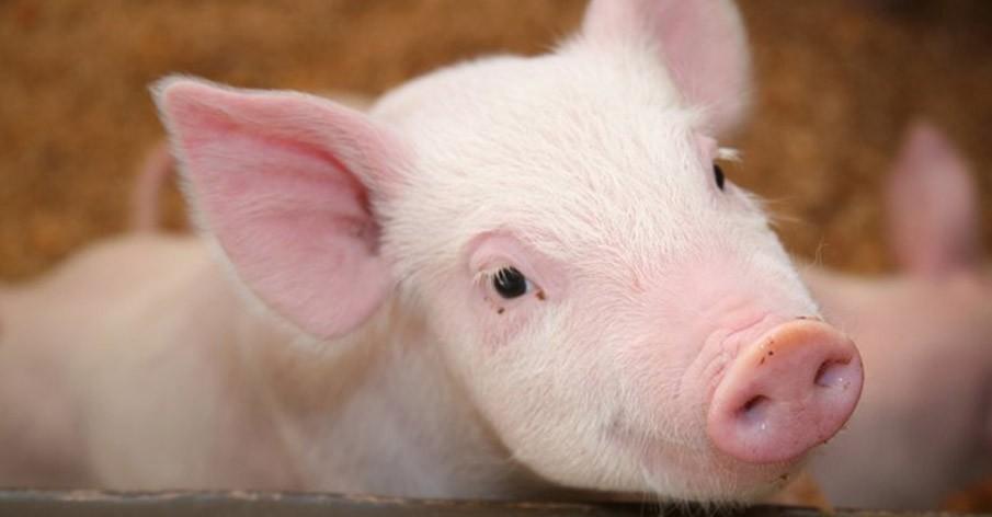 9 provas de que os animais usados para abate hoje são os mais graciosos do mundo