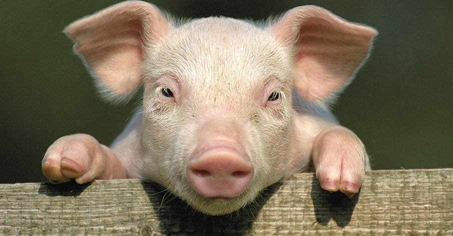 7 fatos que mostram que porcos são iguais a cachorros