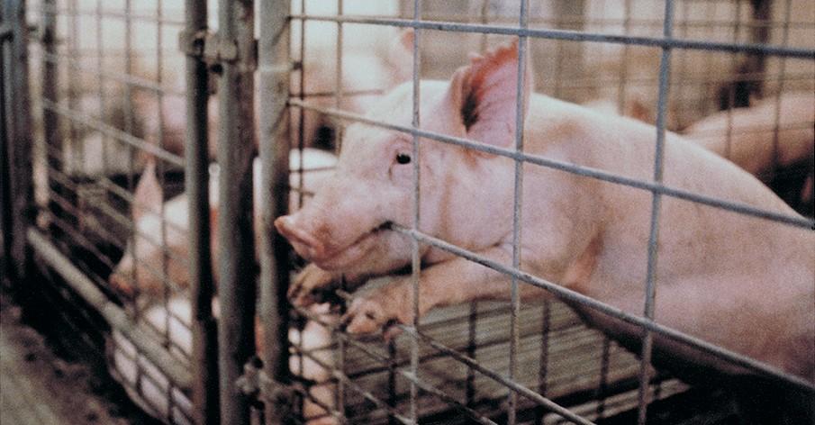 20 fatos que vão fazer você refletir sobre os animais criados e abatidos para consumo