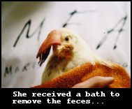 Hope, an Injured egg-laying hen discovered during a Mercy For Animals undercover investigation, left to die in a trash can receives a bath to wash the feces off her body