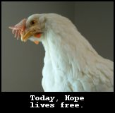 Hope, an Injured egg-laying hen discovered during a Mercy For Animals undercover investigation, now lives free