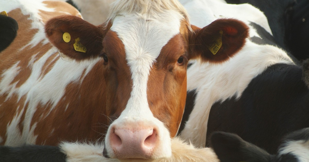 WTF?! Dairy Farmers Accused of Killing 500,000 Cows to Jack