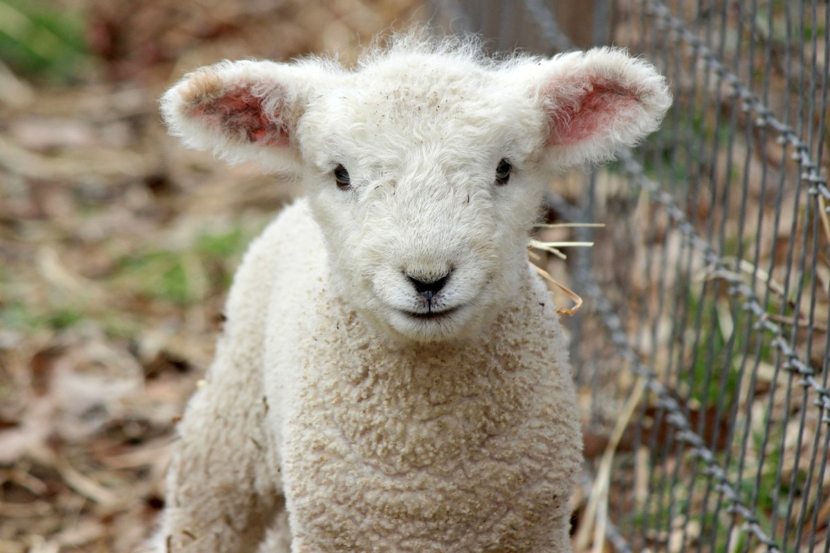 Here's Why Millions of People Don't Eat Lamb Anymore