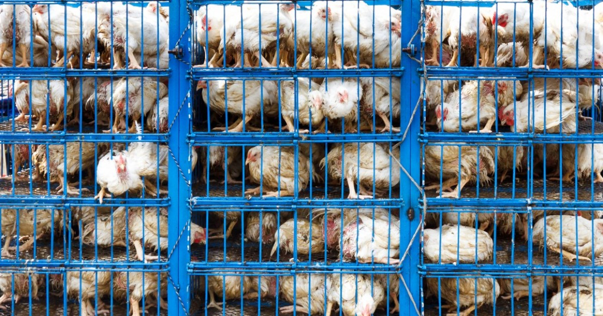 animal cruelty on factory farms