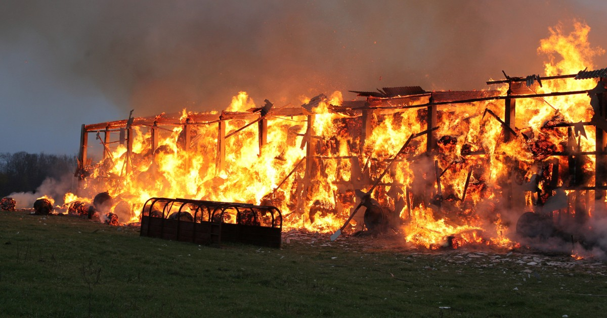 More Than 3,000 Pigs Burned Alive in Barn Fire at Famed