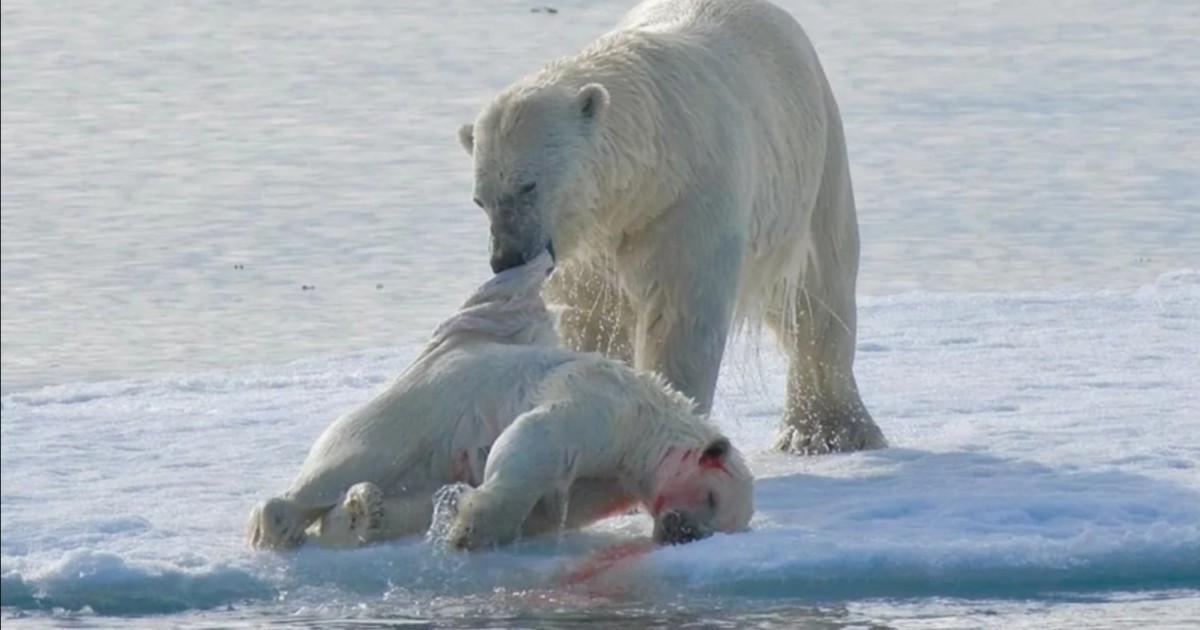 Osos polares se comen unos a otros y la causa es el calentamiento global