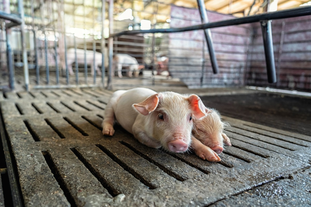 Go #MeatFreeInSolidarity with Mercy For Animals—Do It for Animals and Workers
