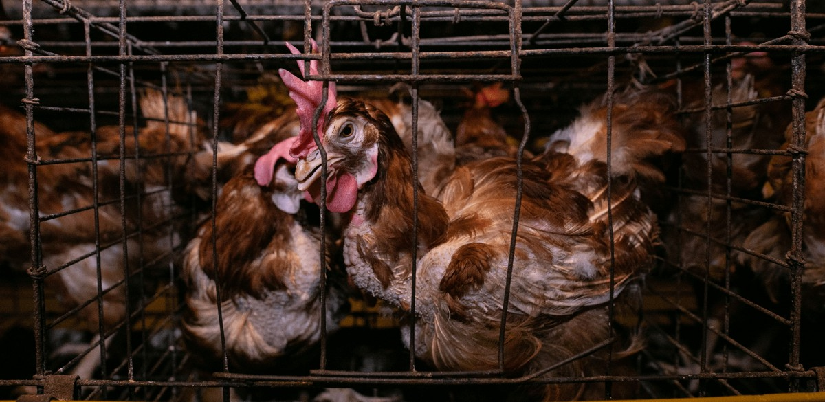 Acclaimed Photographer Releases Heartbreaking Footage Inside Egg Farm