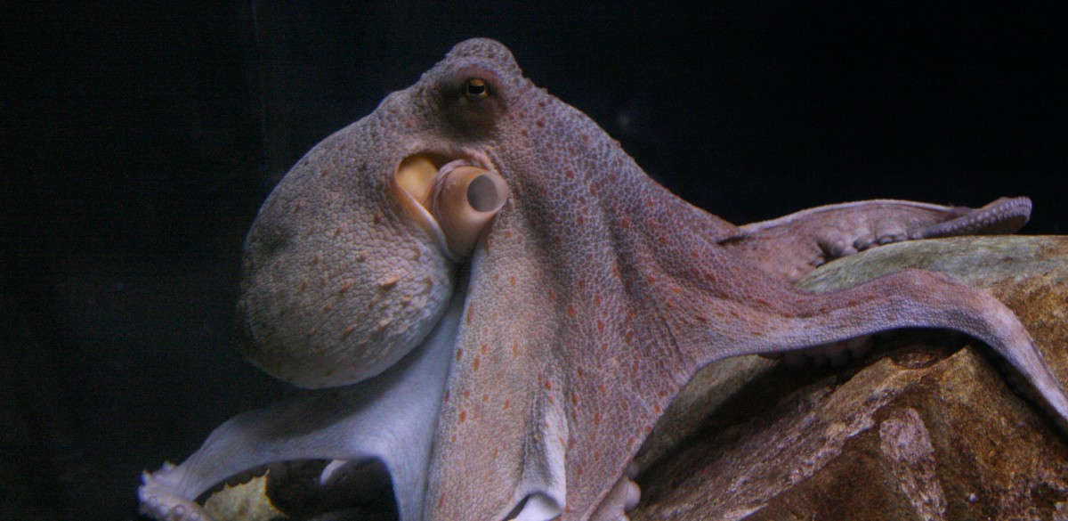 Why Researchers Say Building Octopus Farms Is a Bad Idea