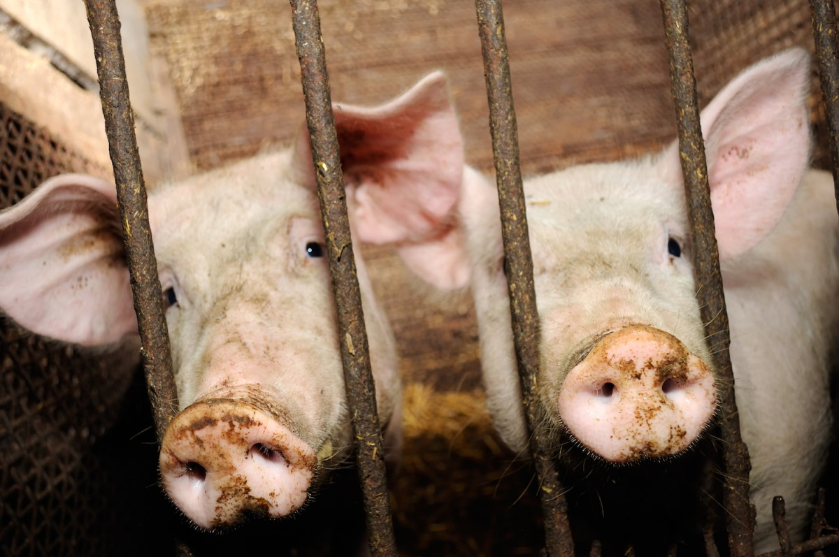 A New Coronavirus Fear? Strain in Pigs Could Infect Humans