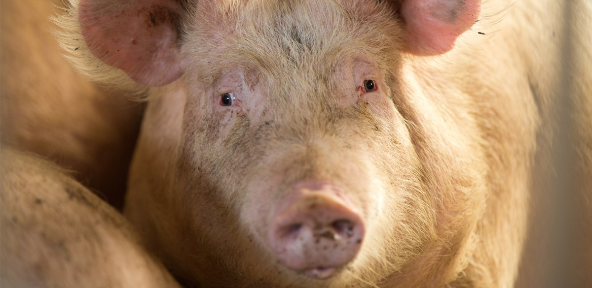 Veterinarians Targeted for Speaking Out Against Cruel On-Farm Killing