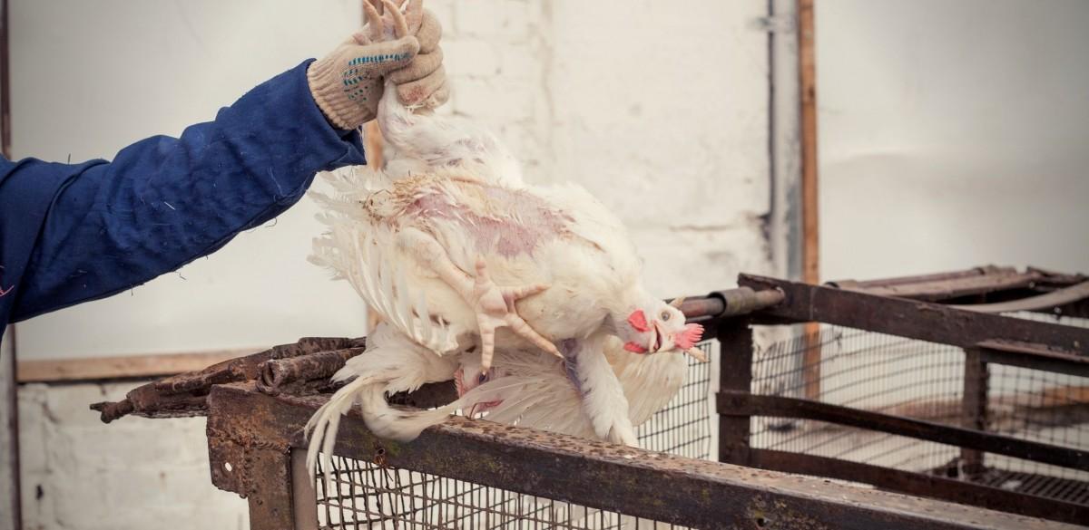 Más de 300,000 pollos serán asesinados por un brote de gripe aviar