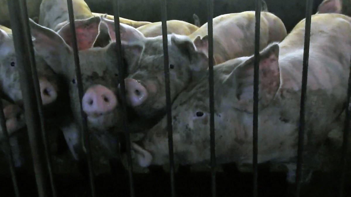 Nova investigação da Mercy For Animals mostra o interior de um abatedouro da JBS e expõe terror da i
