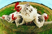 fourchickenscolorful1.jpg