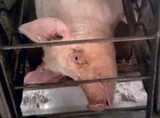 PigFarm1.jpg