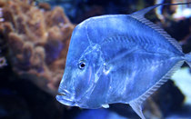 Blue-Fish-Swimming.jpg