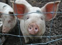 Pig Blood.jpg