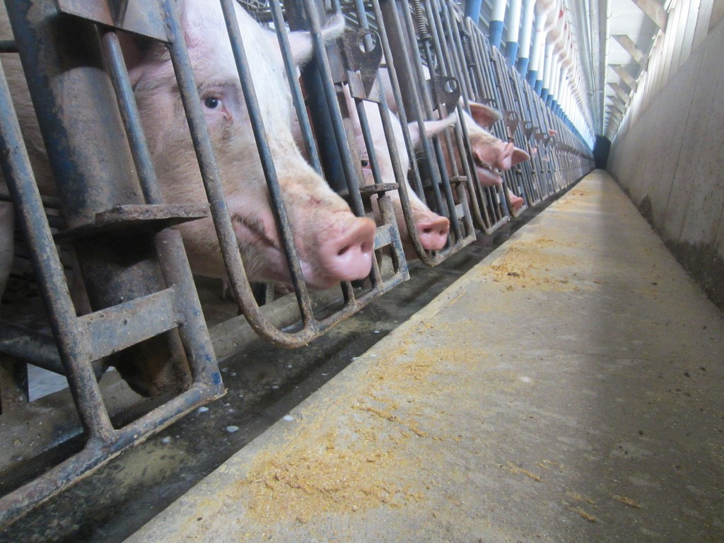 Thanks to Factory Farms, a Simple Cut or Scrape Could Kill You