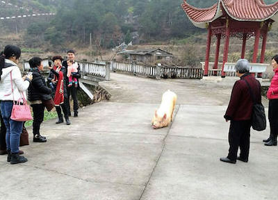 """Pig Escapes Farm, Appears to """"Pray"""" at Buddhist Temple"""