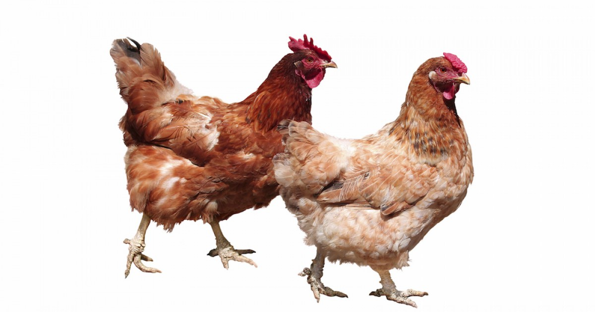 Victory For Hens Massive Foodservice Company Goes Totally