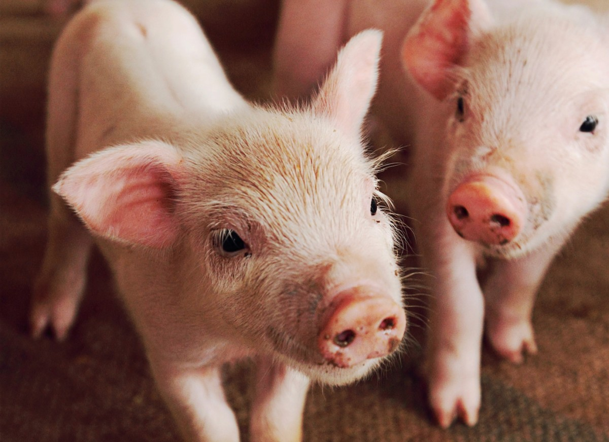 Pigs Are Intelligent and Sensitive, So Why Are You Eating Them?!